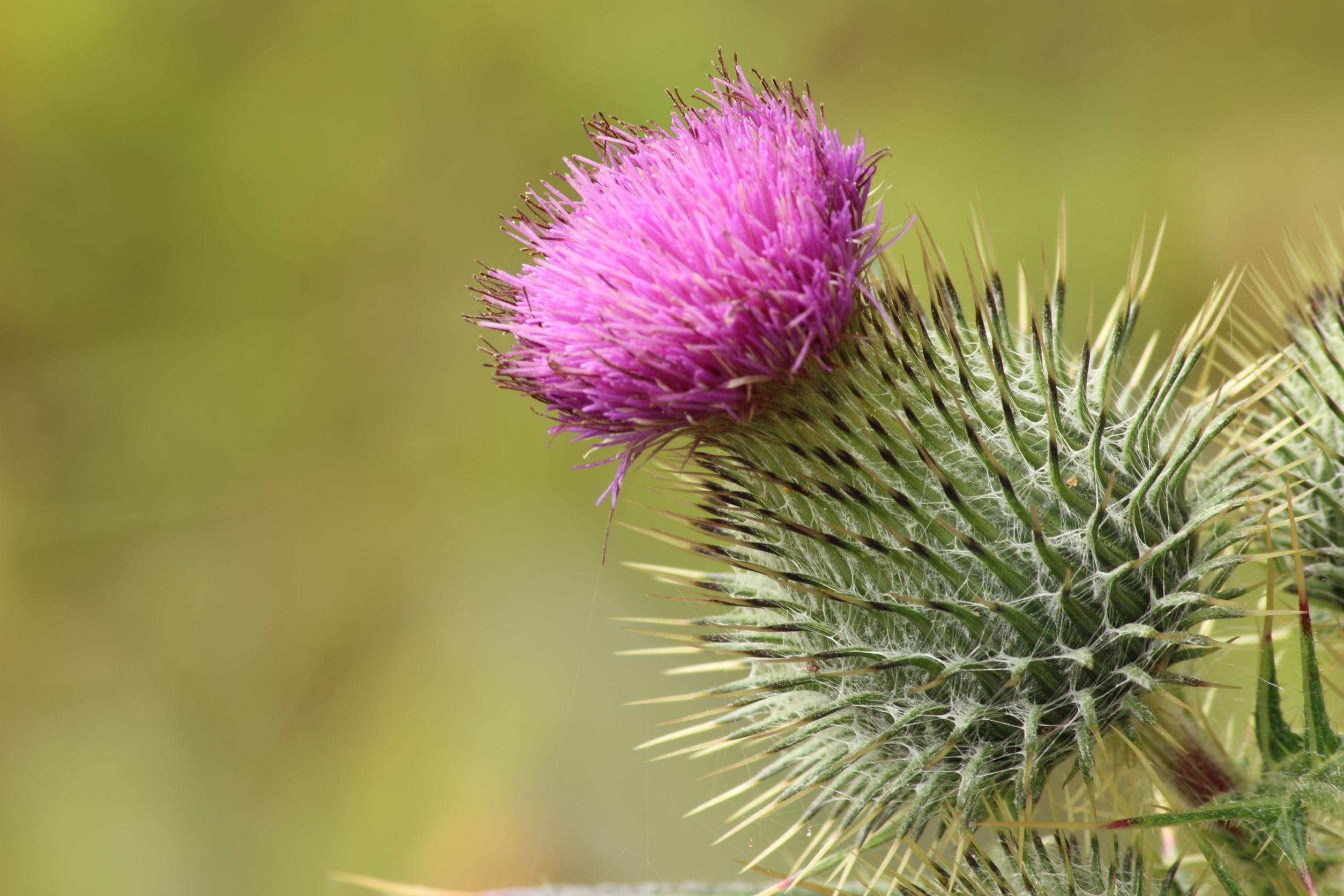 Ces fleurs aux noms d 39 animaux - Le chardon d ecosse ...