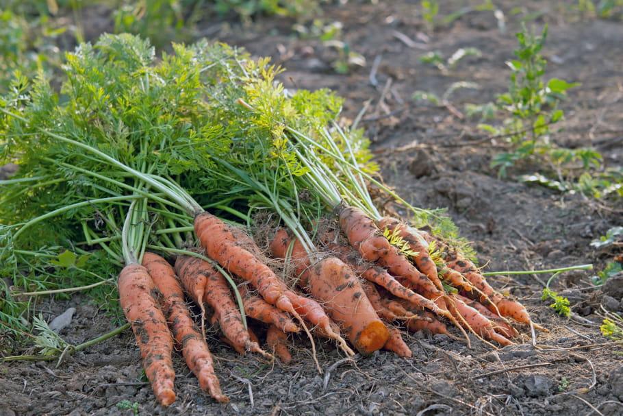 Cultiver des carottes: semis, plantation, entretien, récolte et conservation