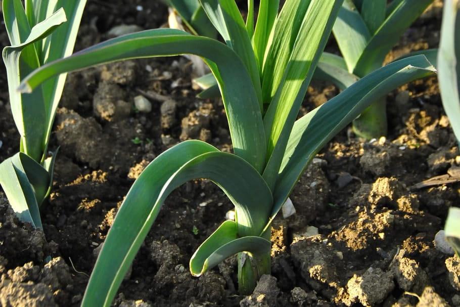 Cultiver des poireaux: semis, repiquage, habillage, plantation, entretien et récolte