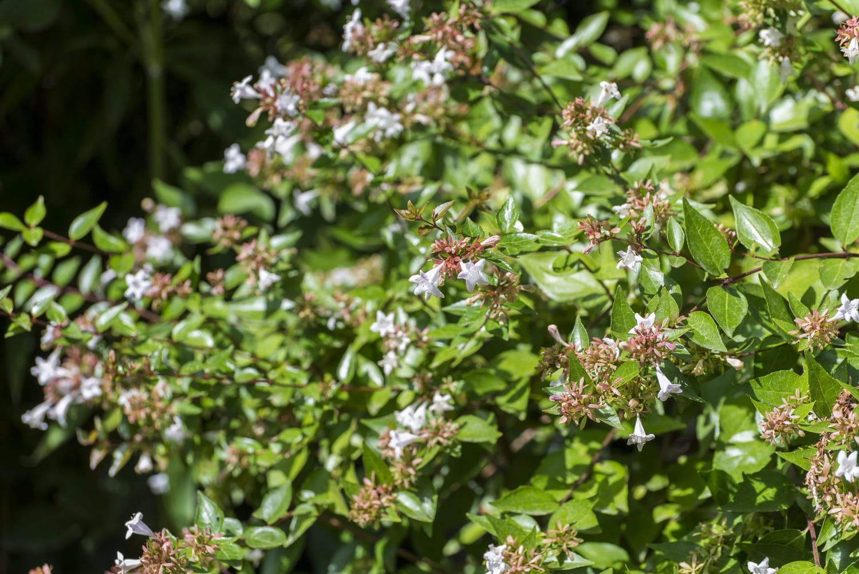 Plantes à feuillage semi-persistant