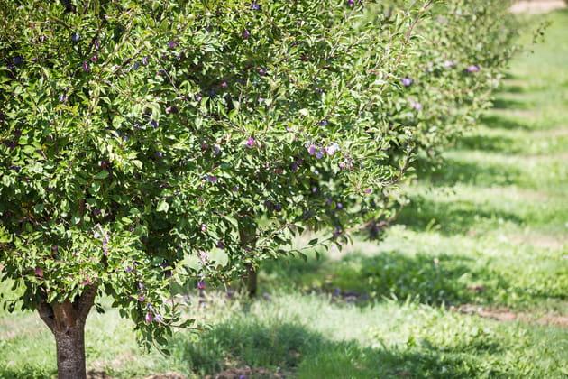 11 500 hectares de vergers de pruniers
